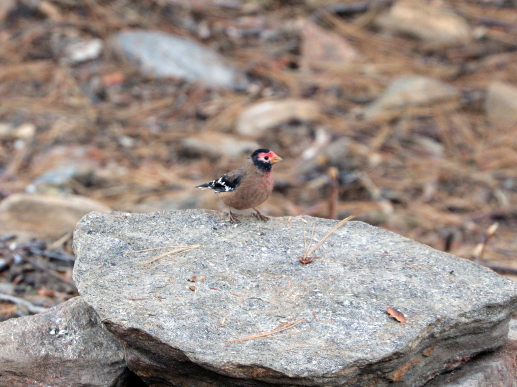 Spectacled Finch - Suresh  Rana