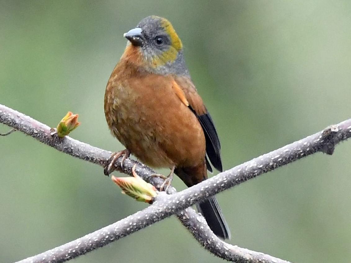 Gold-naped Finch - Sriram Reddy