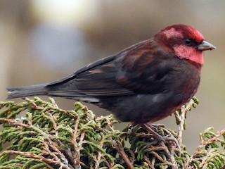 - Dark-breasted Rosefinch