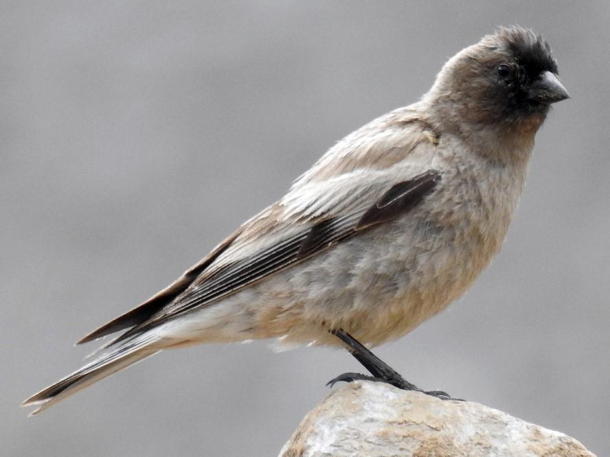 Black-headed Mountain-Finch - Anonymous eBirder