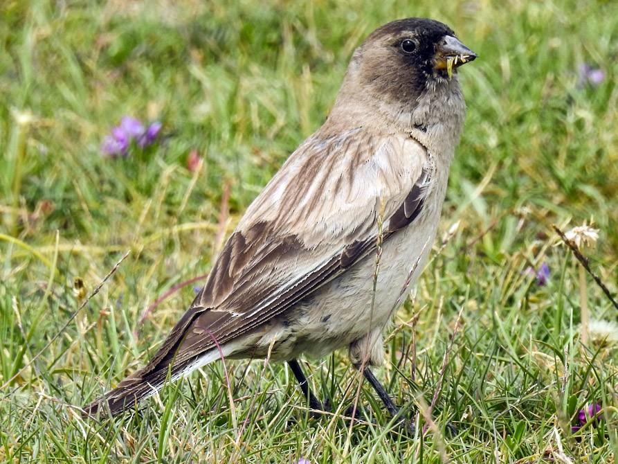 Black-headed Mountain-Finch - Sahana M
