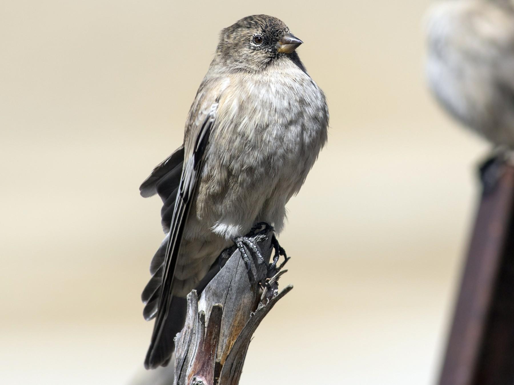 Black-headed Mountain-Finch - Rajdeep Mitra