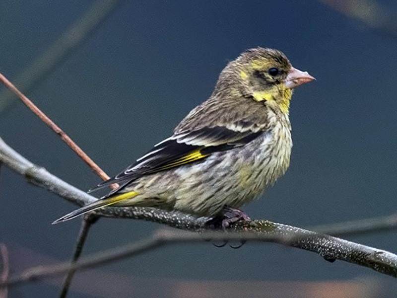 Yellow-breasted Greenfinch - Sandip Das