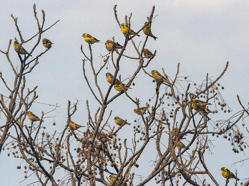 Yellow-breasted Greenfinch - Prashant Kumar