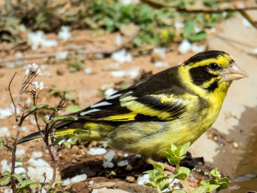 Yellow-breasted Greenfinch - Vivek Rawat