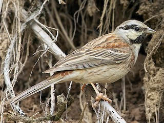 - White-capped Bunting