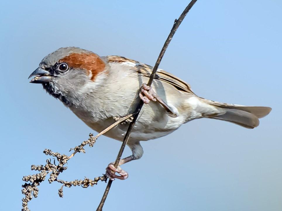 Sind Sparrow - Nitin Chandra