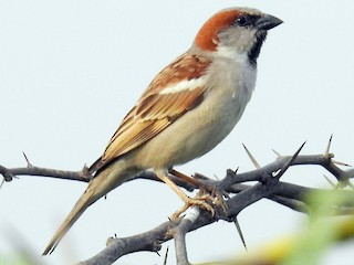 - Sind Sparrow