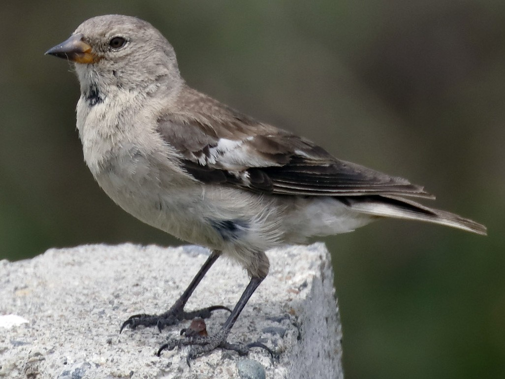 Black-winged Snowfinch - Dave Curtis
