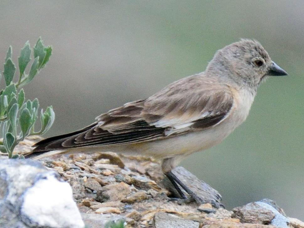 Black-winged Snowfinch - Snehasis Sinha