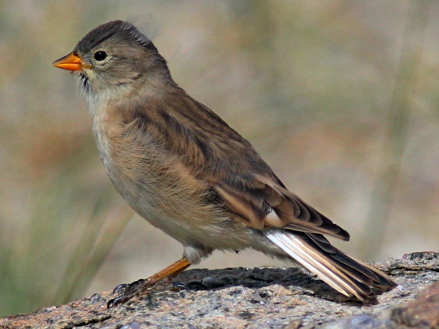 Black-winged Snowfinch - abhishek ravindra