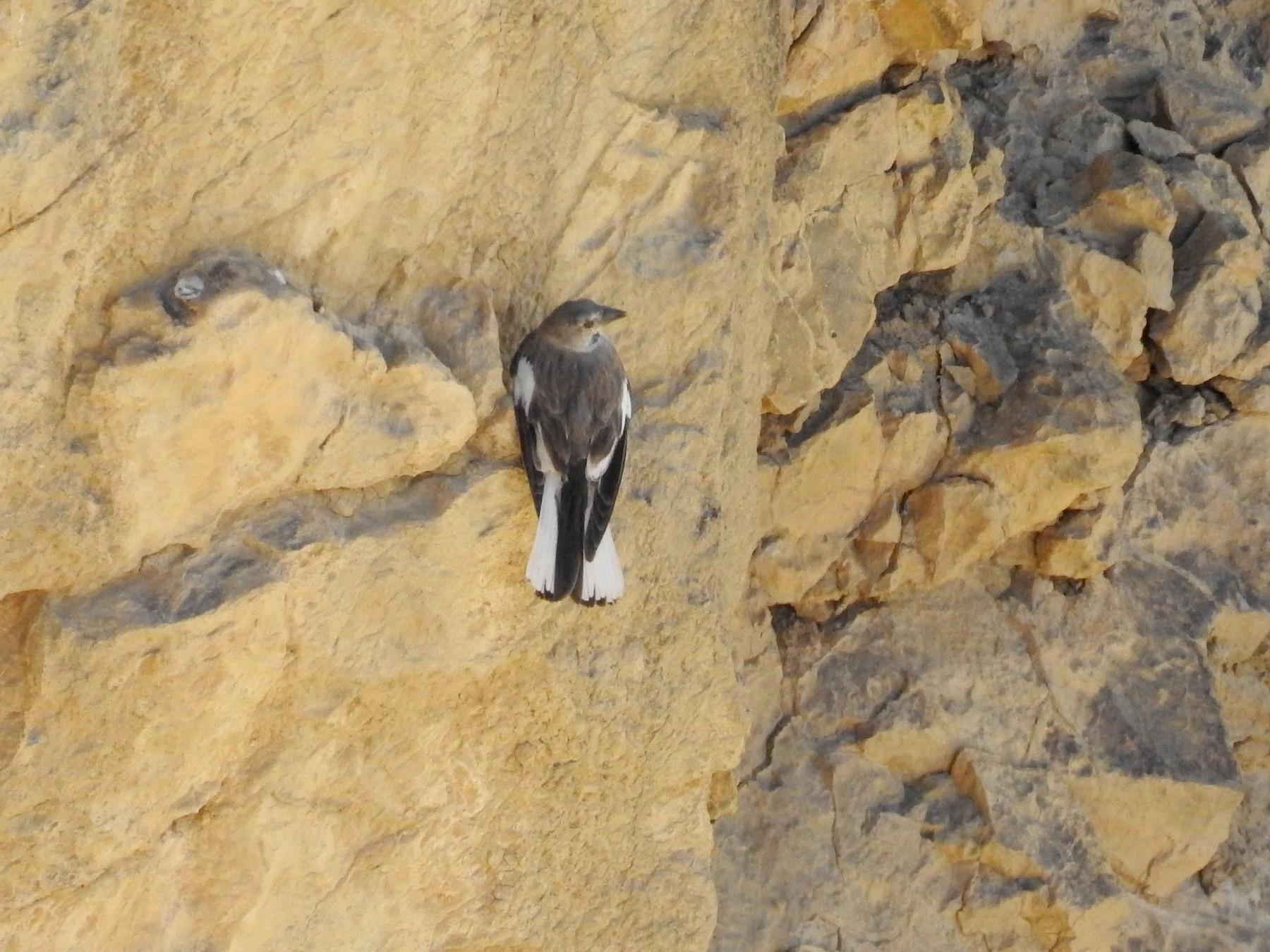Black-winged Snowfinch - Bhanu Sridharan