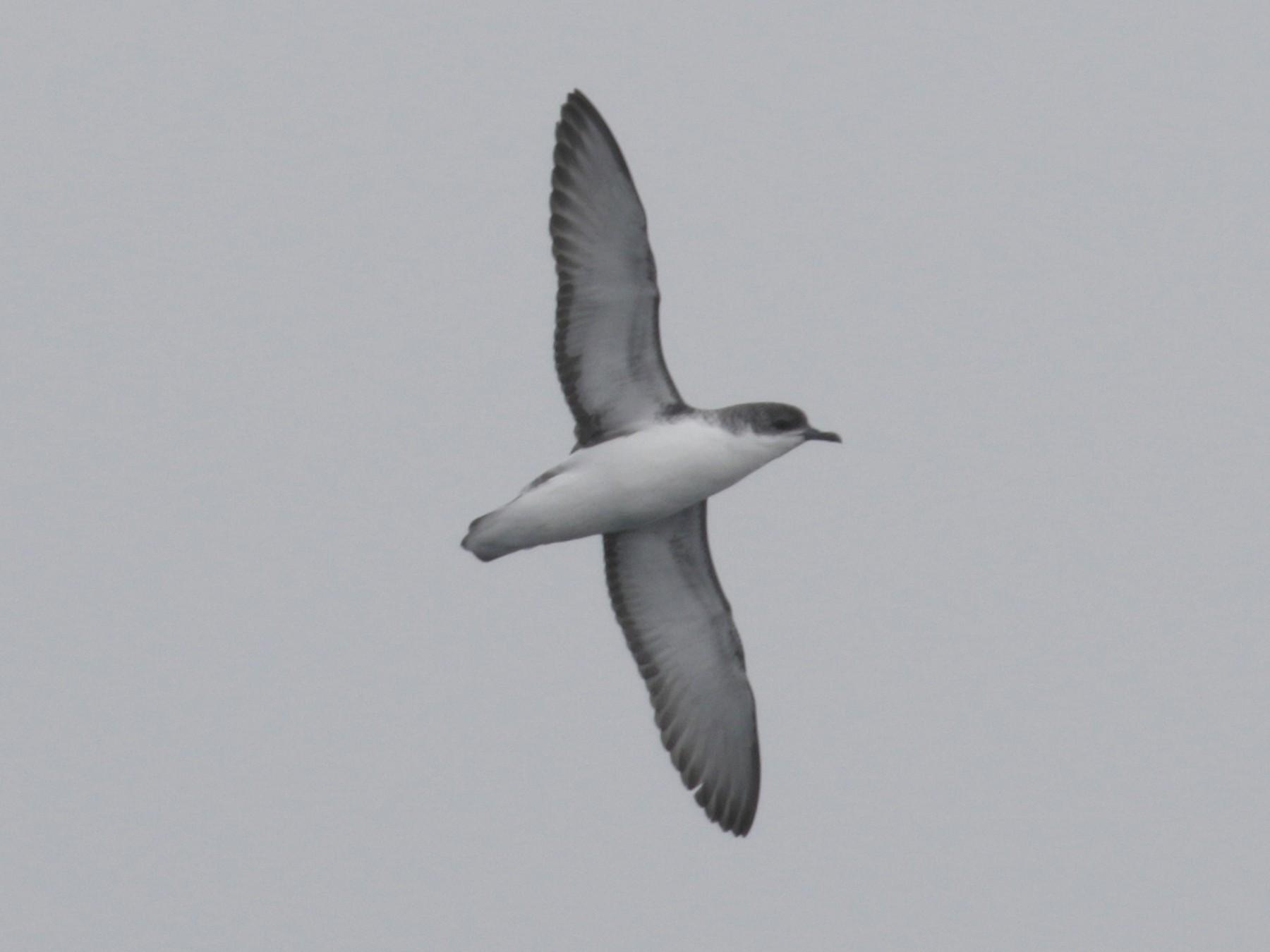 Subantarctic Shearwater - Cameron Eckert