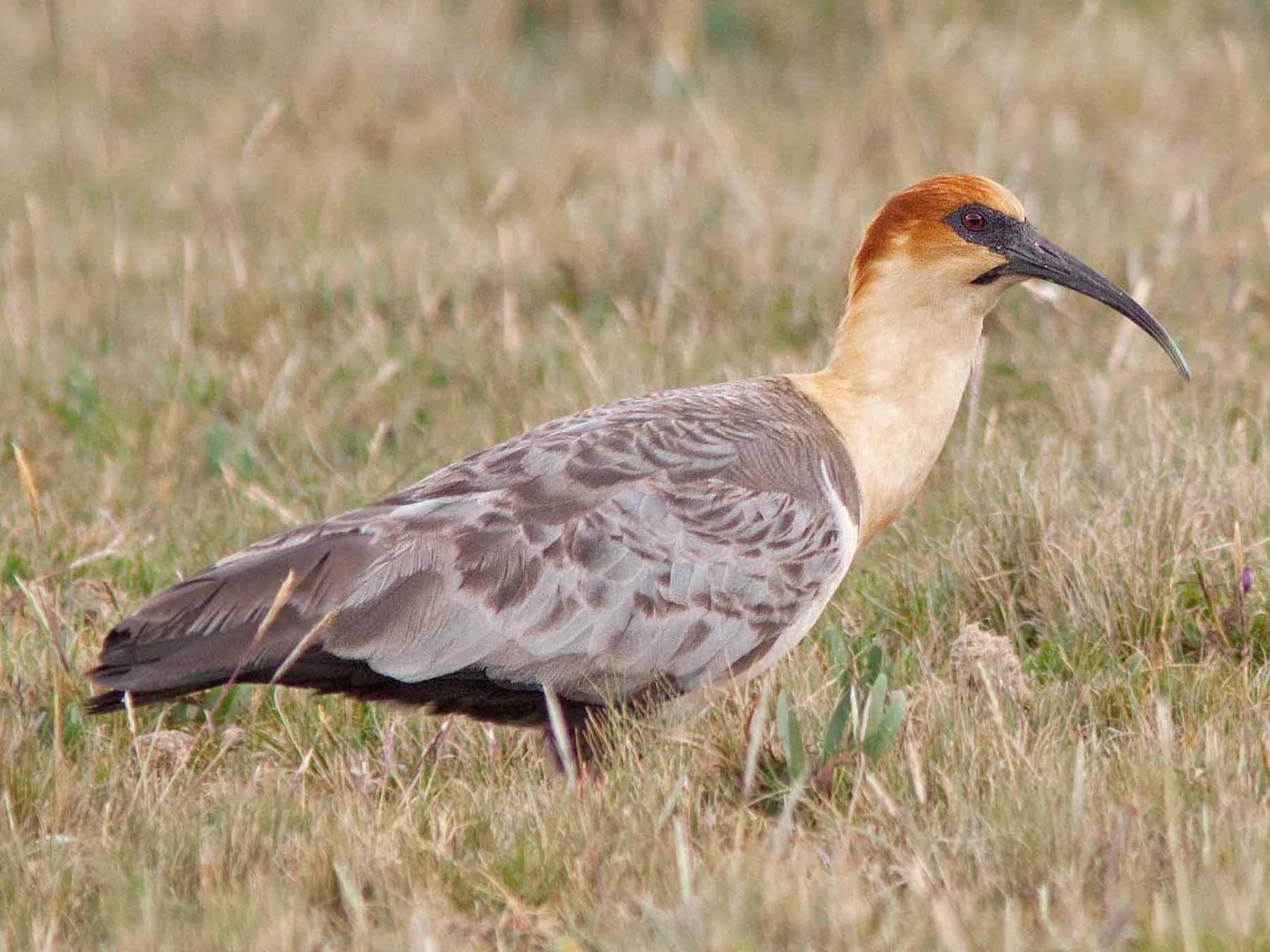 Andean Ibis - Michael Dvorak