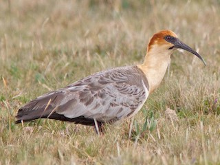 - Andean Ibis