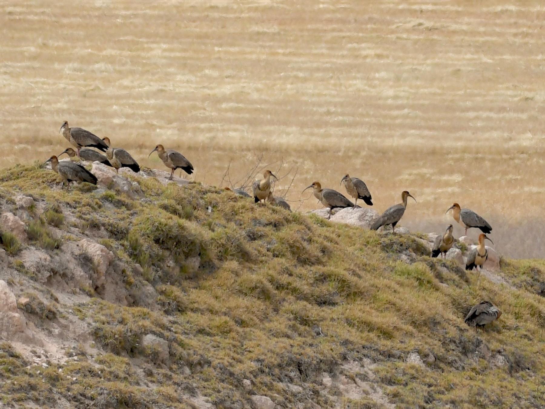 Andean Ibis - Theresa Bucher