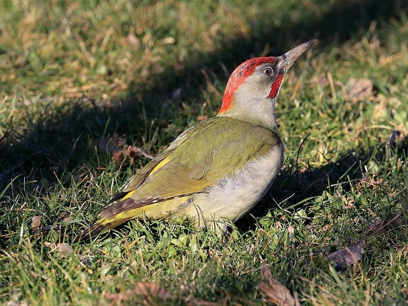 Iberian Green Woodpecker - Jorge García Mora