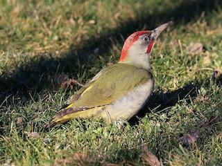 - Iberian Green Woodpecker
