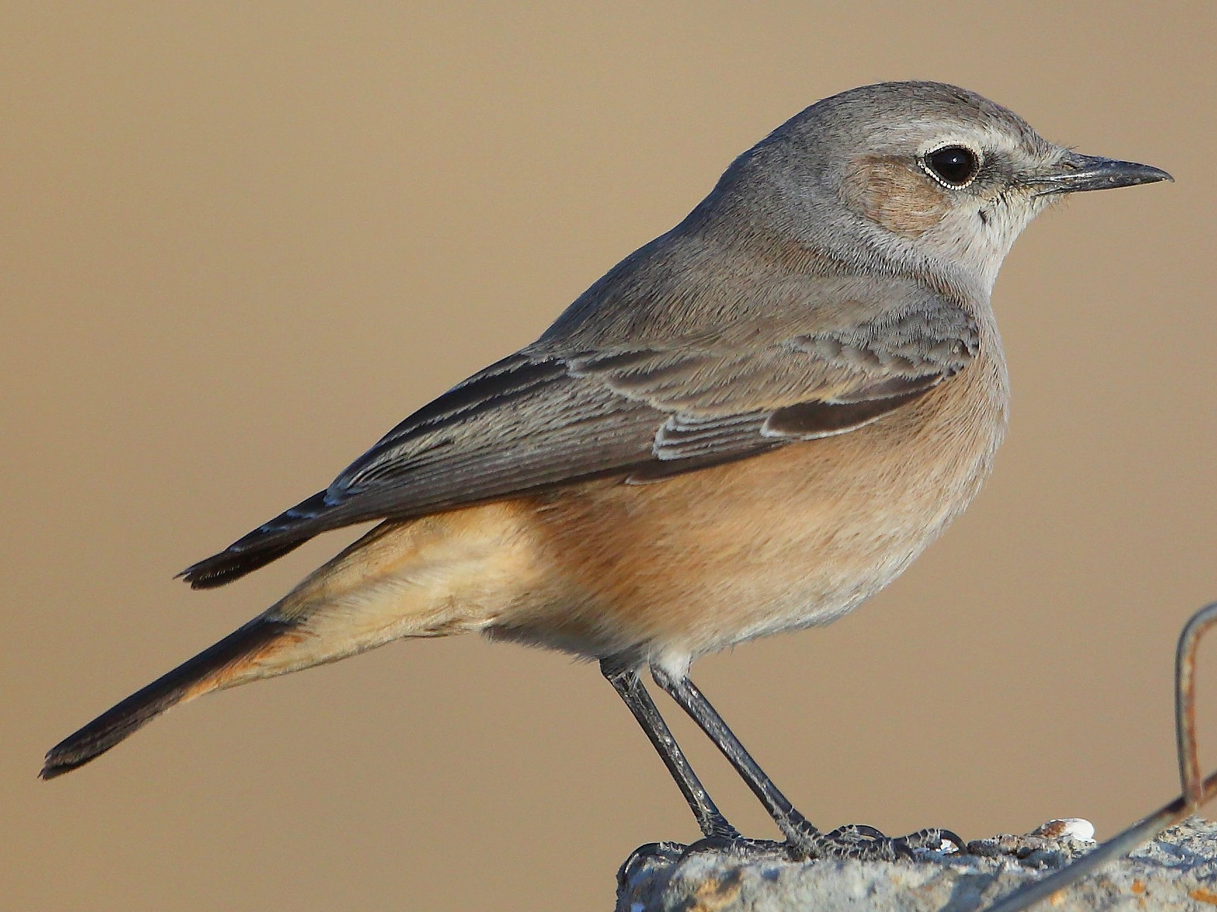 Persian Wheatear - Albin Jacob