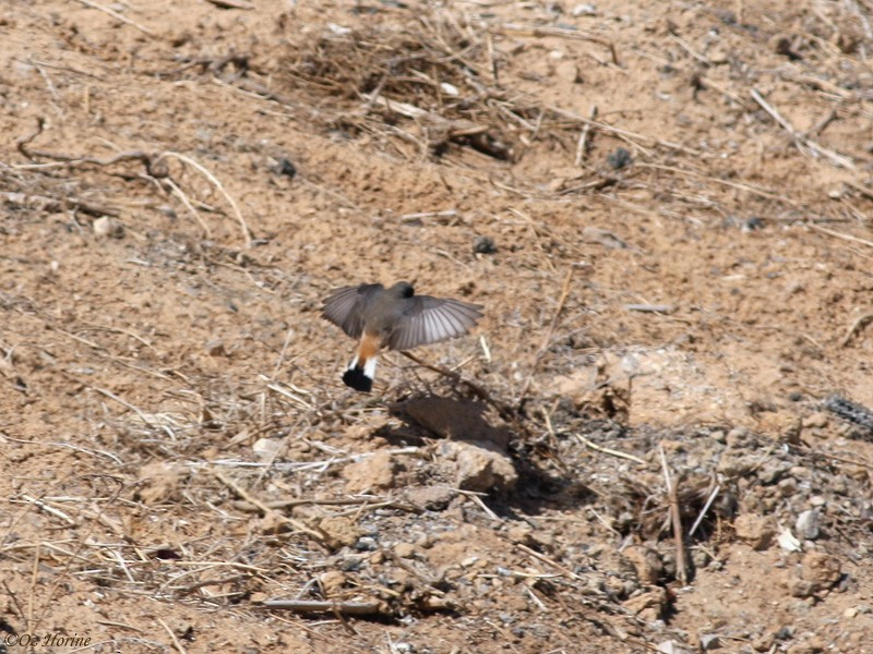 Kurdish Wheatear - Oz Horine