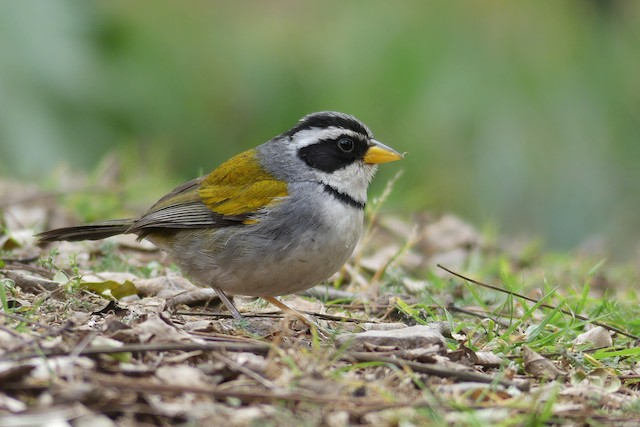 Moss-backed Sparrow
