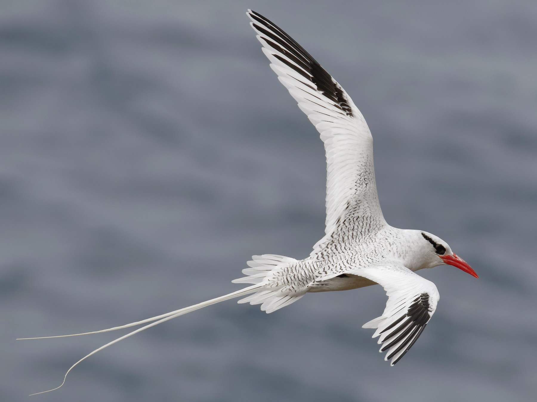 Red-billed Tropicbird - Sharif Uddin