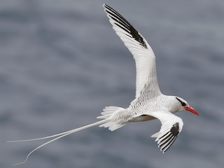 - Red-billed Tropicbird