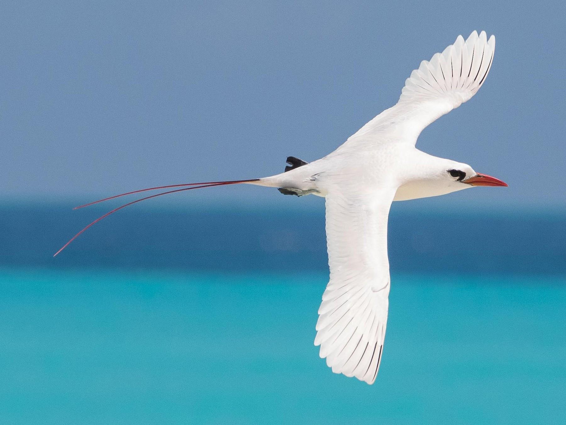 Red-tailed Tropicbird - Eric VanderWerf