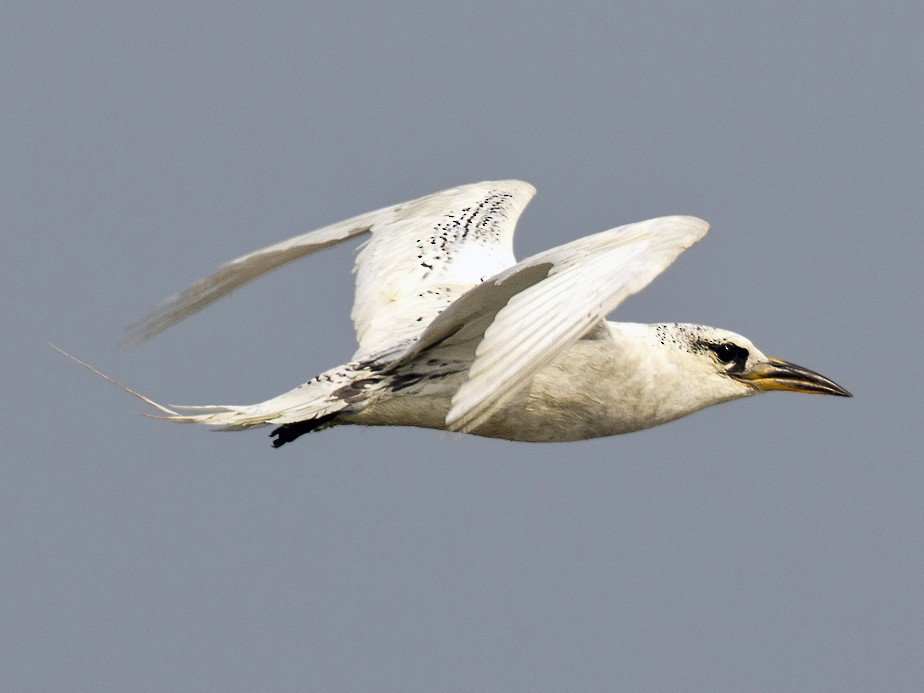 Red-tailed Tropicbird - Arka Sarkar