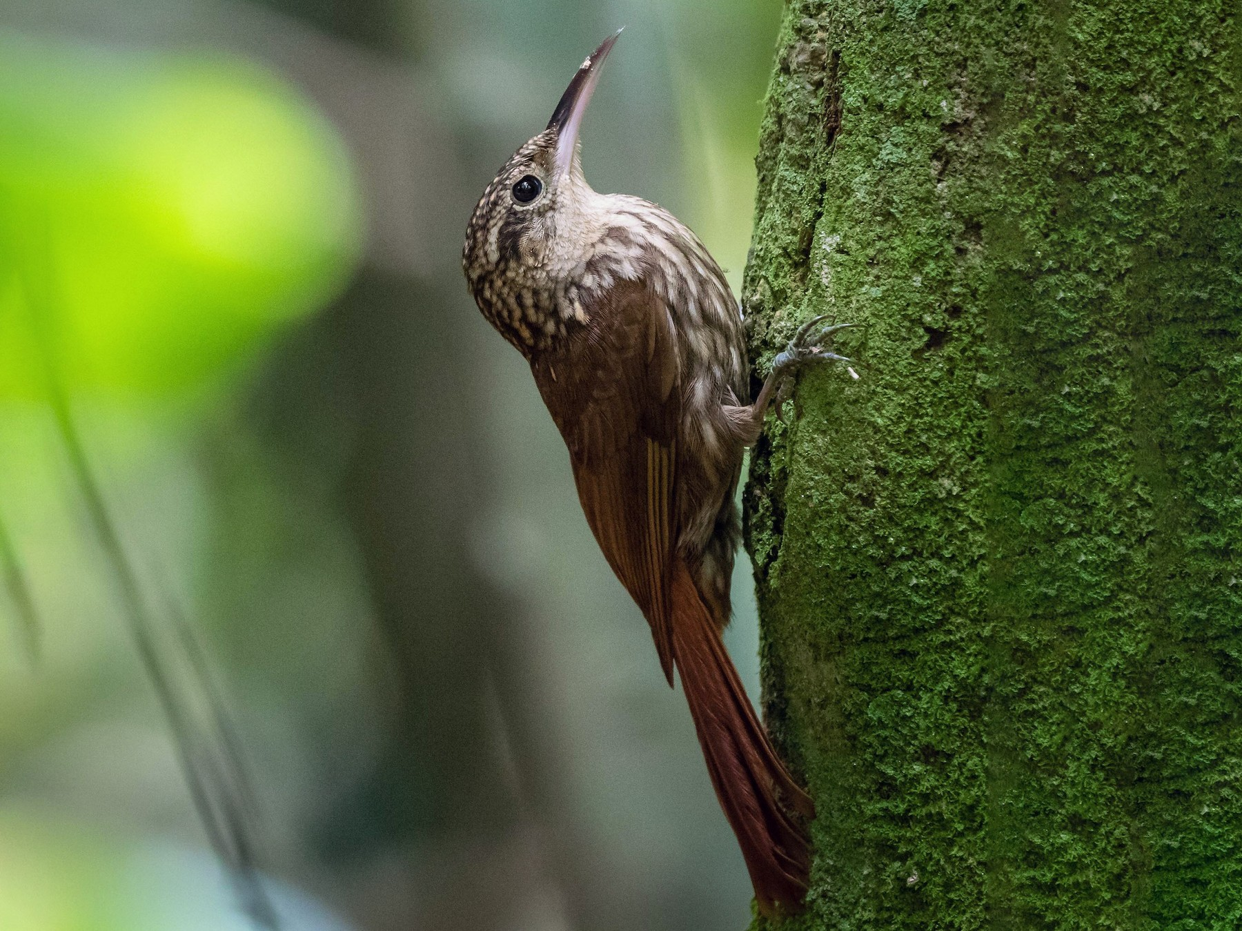 Lesser Woodcreeper - Eden Fontes