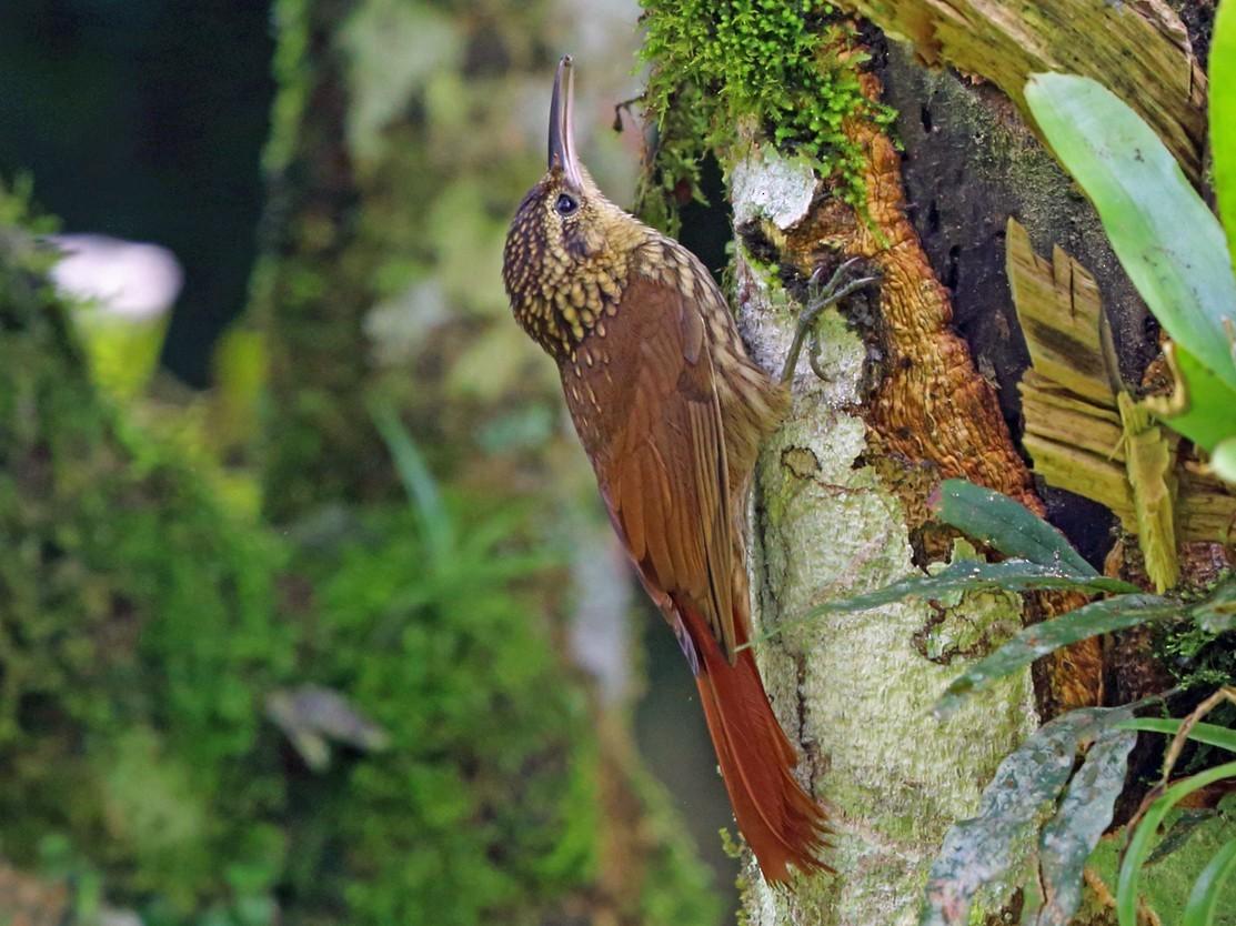 Lesser Woodcreeper - Nigel Voaden