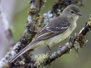 - Small-headed Elaenia