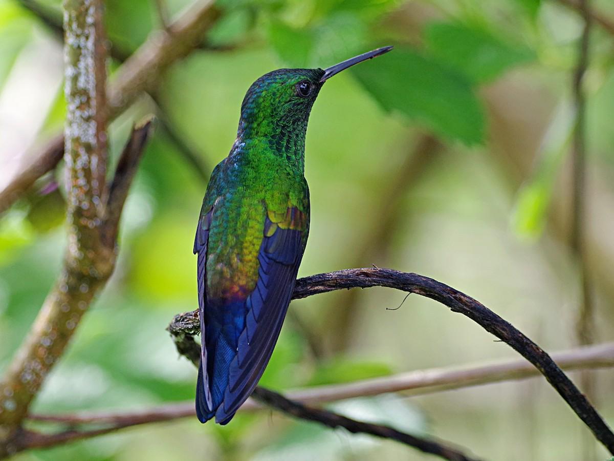 Blue-vented Hummingbird - Roberto Segura M