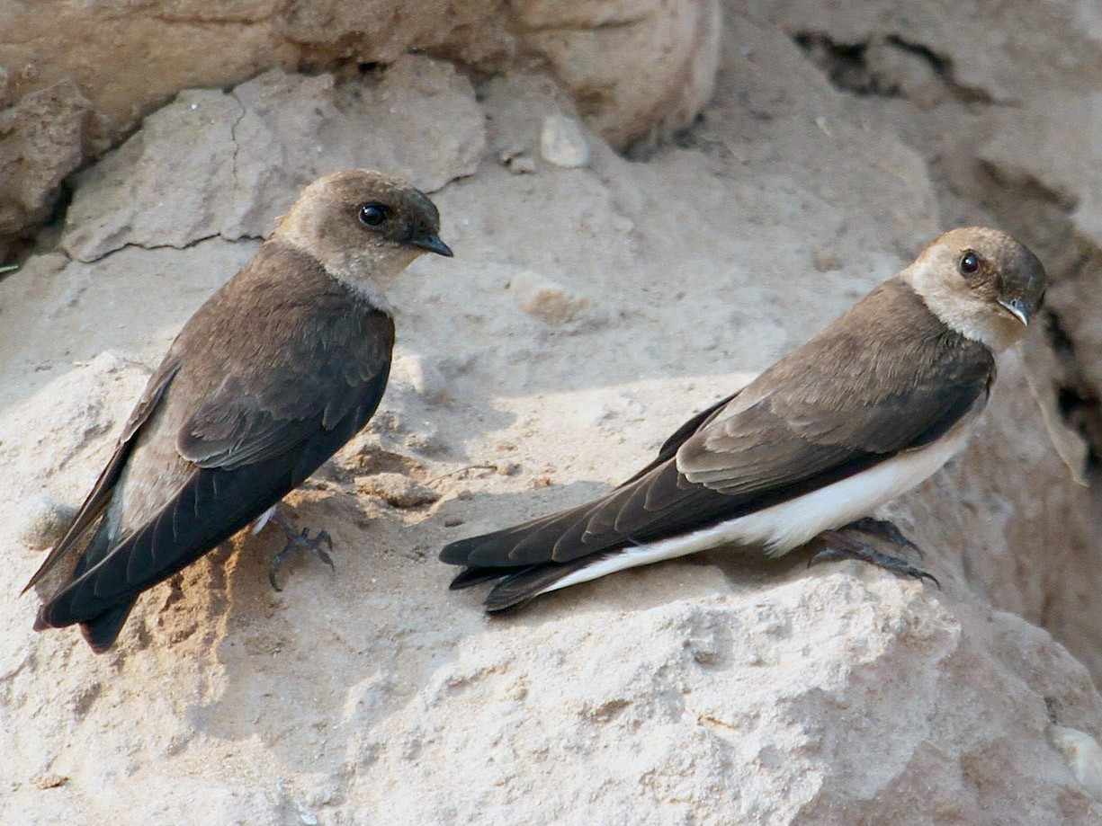 Pale Sand Martin - Neeraj Sharma