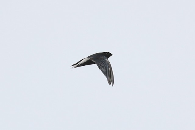 Silver-rumped Needletail