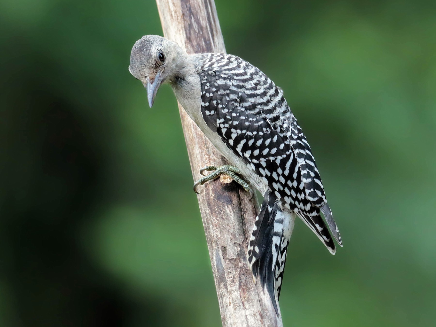 Red-bellied Woodpecker - Peggy Rudman