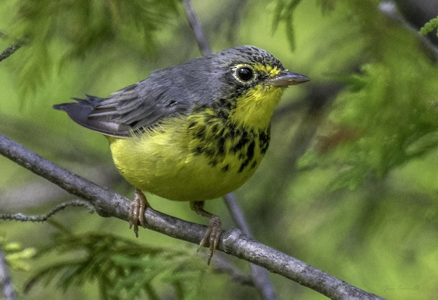 Possible First Alternate male Canada Warbler (19 July).