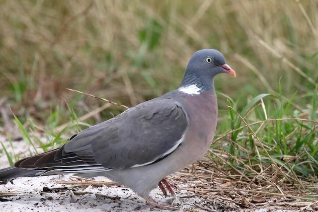 Common Wood-Pigeon (White-necked)