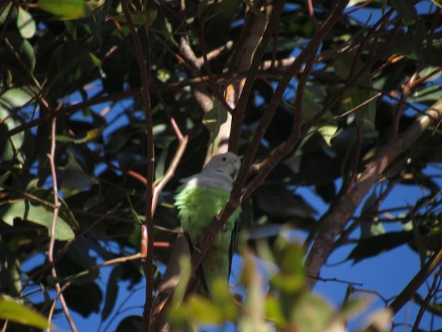 Gray-headed Lovebird
