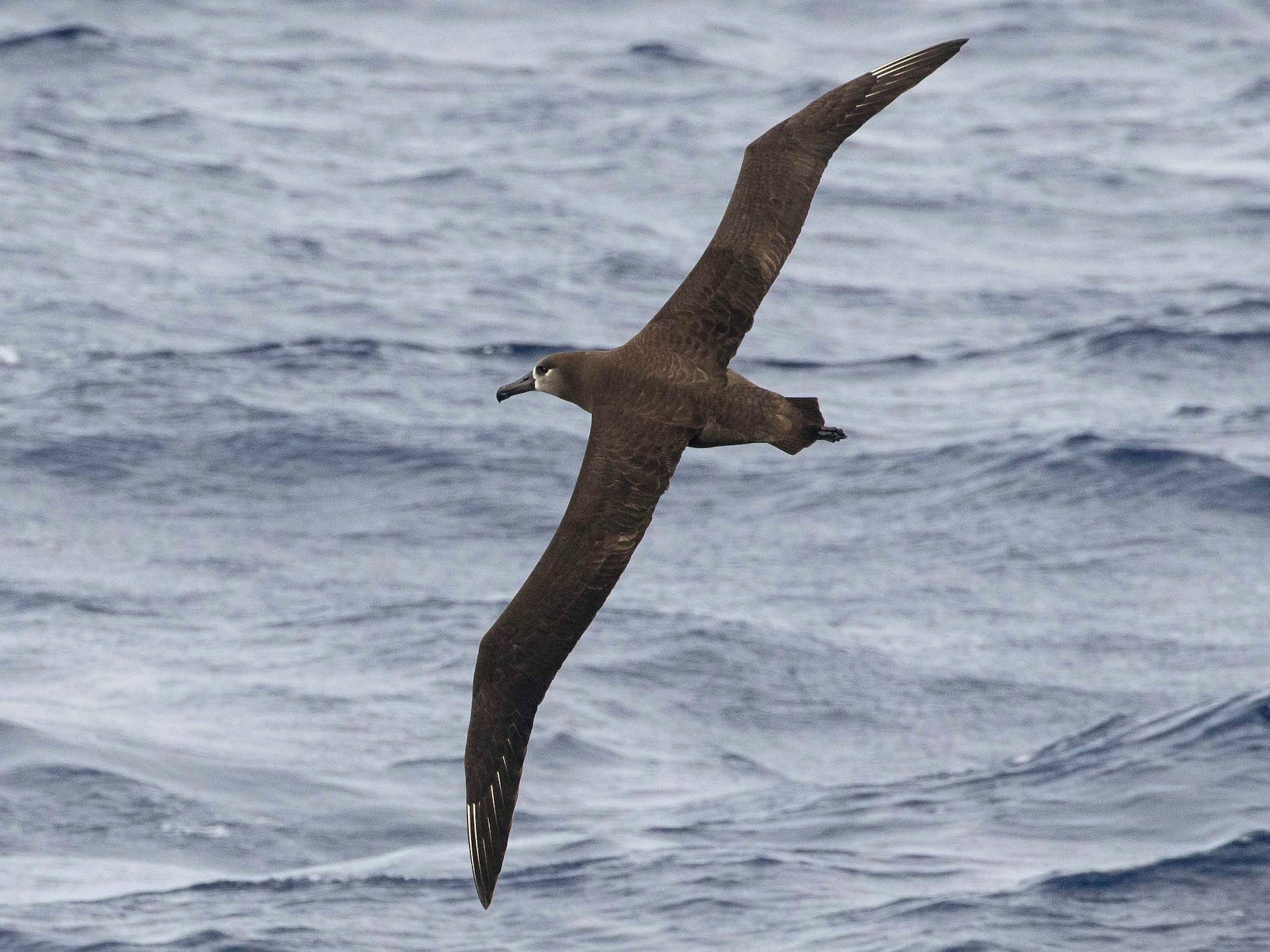 Black-footed Albatross - Eric VanderWerf