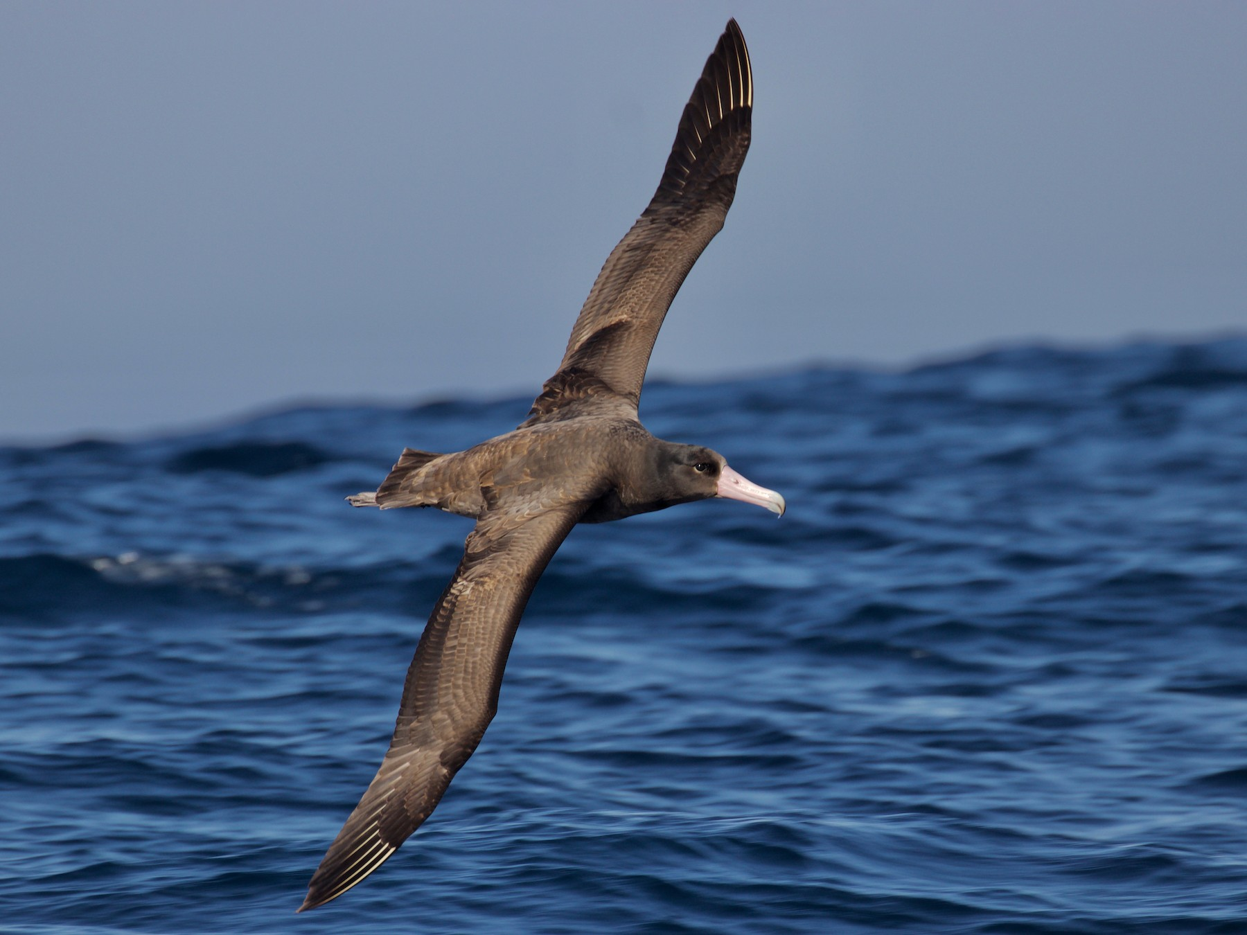Short-tailed Albatross - Cathy Reader