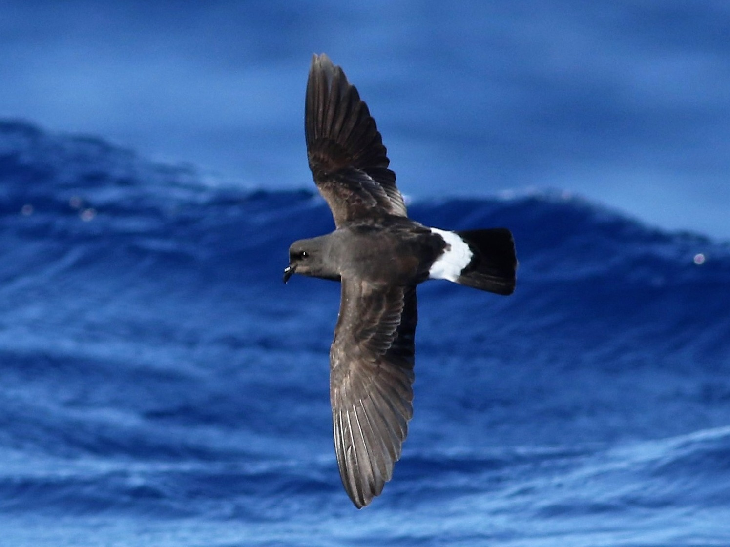 European Storm-Petrel - Peter Flood