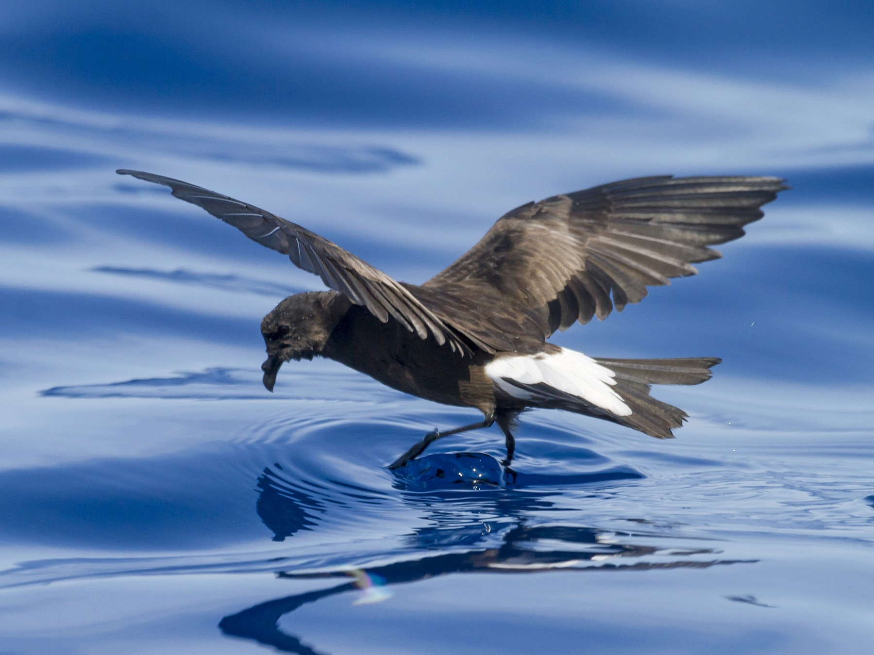 Wedge-rumped Storm-Petrel - Gerardo Marrón