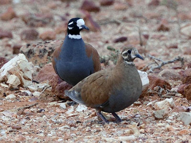Flock Bronzewing - Peter Valentine
