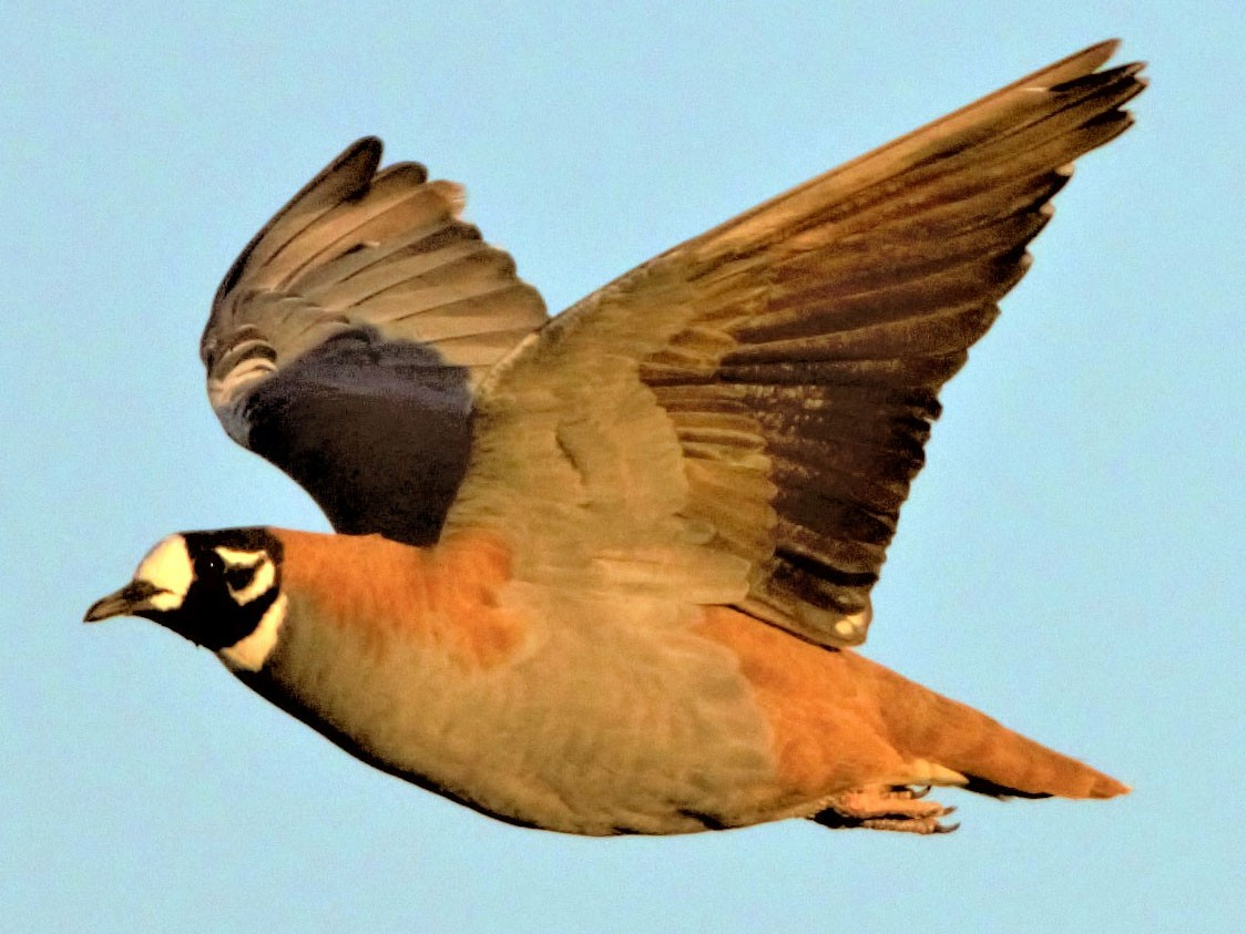 Flock Bronzewing - Greg Roberts
