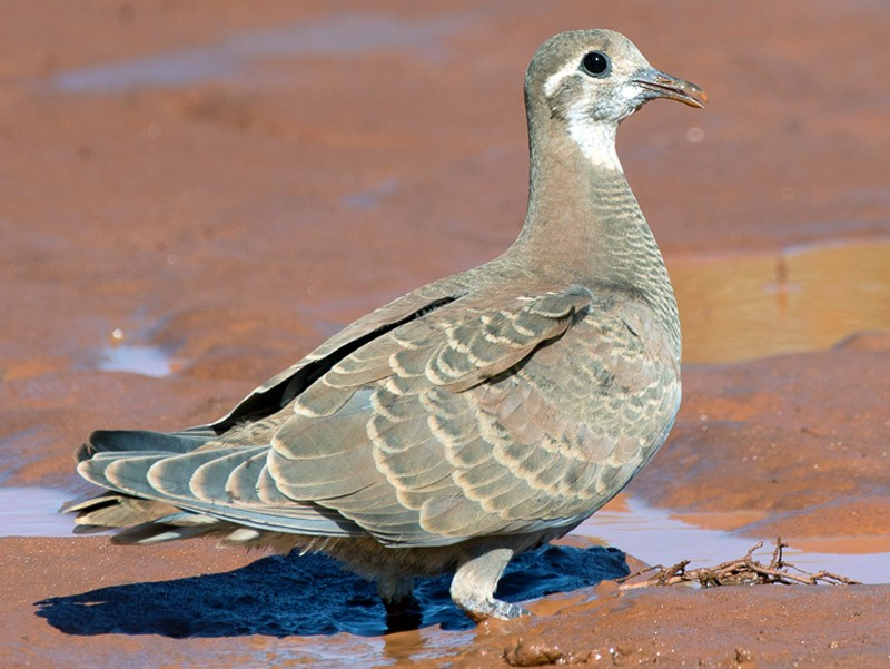 Flock Bronzewing - Barry Deacon