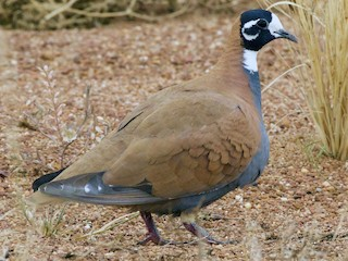 - Flock Bronzewing