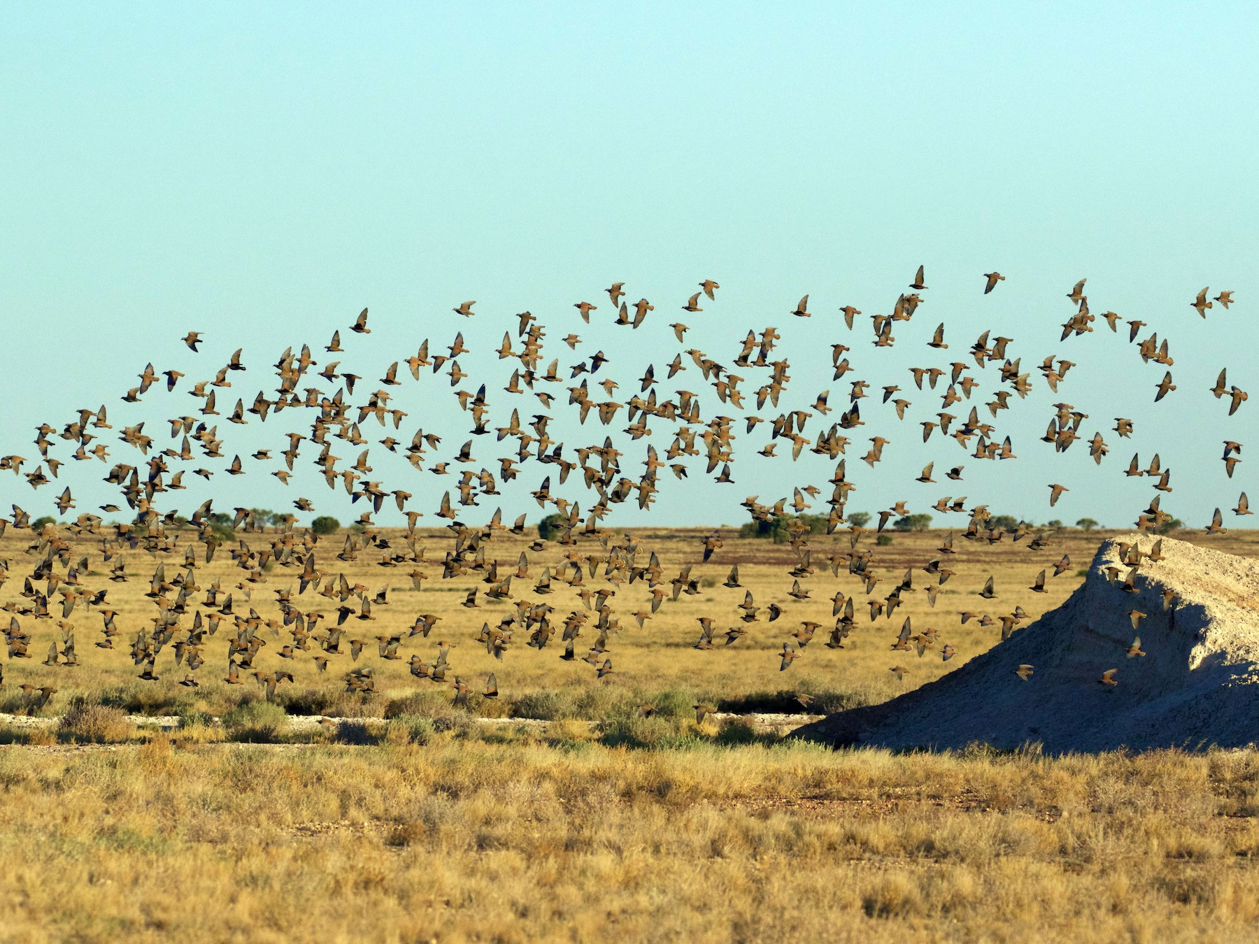 Flock Bronzewing - Scott Baker