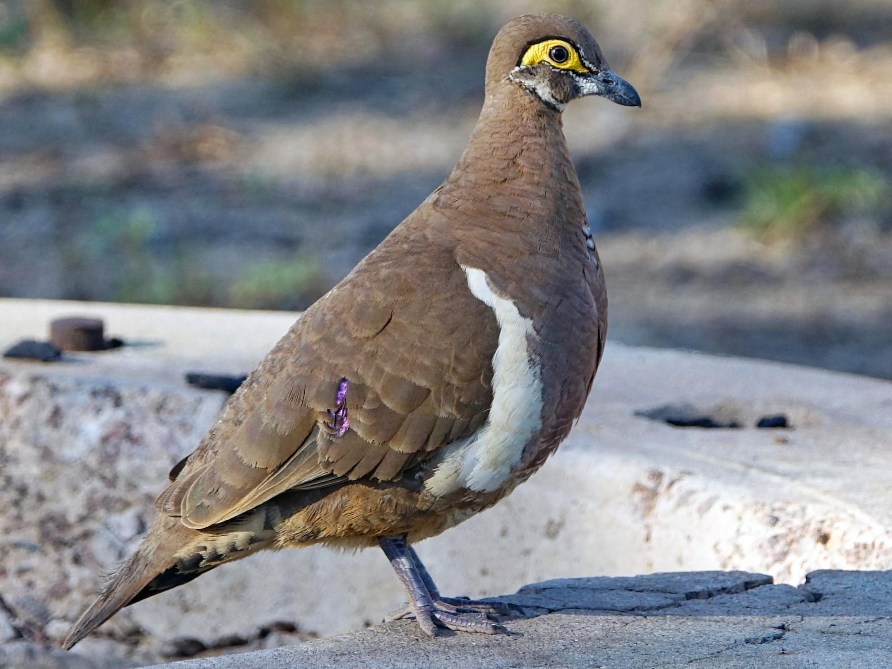 Partridge Pigeon - Tobias Ley