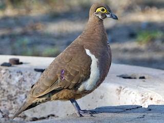 - Partridge Pigeon